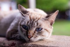 Gattino pigro con gli occhi azzurri fotografia stock