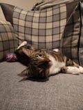 Gattino raffreddato immagini stock