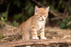Gattino rosso all'aperto Fotografia Stock