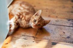 Gattino rosso del soriano dello zenzero allegro adorabile che mette su un pavimento di legno della cucina fotografia stock