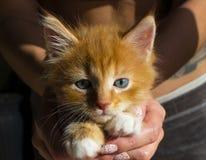 Gattino rosso divertente a strisce con il primo piano bianco e dell'occhio azzurro delle zampe Gattino stretto della tenuta dell' immagine stock libera da diritti