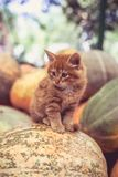 Gattino rosso sveglio che si siede su un mucchio delle zucche fotografie stock