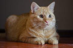Gattino rosso sveglio e curioso che si siede sul pavimento Fotografie Stock Libere da Diritti
