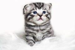 Gattino sciccoso con gli occhi azzurri ed i capelli di scarsità spessi Immagine Stock