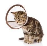 Gattino scozzese che indossa un collare dell'imbuto Isolato su backg bianco fotografia stock libera da diritti