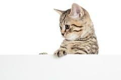 Gattino scozzese del gatto dietro l'insegna Immagini Stock Libere da Diritti