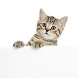 Gattino scozzese del gatto dietro l'insegna Fotografie Stock Libere da Diritti