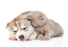 Gattino scozzese e cucciolo del husky siberiano che dorme insieme Isolato Fotografia Stock Libera da Diritti