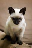 Gattino siamese Immagini Stock Libere da Diritti
