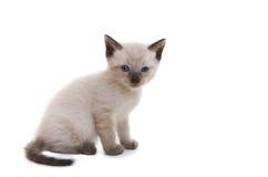 Gattino siamese Fotografie Stock Libere da Diritti