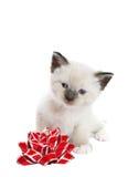 Gattino siamese con l'arco Fotografia Stock Libera da Diritti