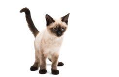 Gattino siamese nell'alta definizione Fotografia Stock Libera da Diritti