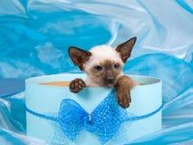 Gattino siamese sveglio due in contenitore di regalo blu Fotografia Stock