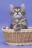 Gattino siberiano Immagini Stock