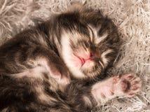 Gattino siberiano neonato immagine stock