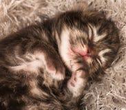 Gattino siberiano neonato fotografie stock
