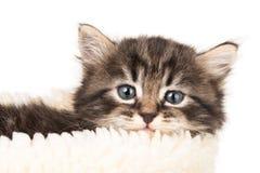 Gattino siberiano sveglio immagini stock