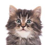 Gattino siberiano sveglio fotografie stock