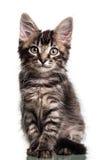 Gattino simile a pelliccia sveglio fotografie stock