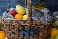 Gattino sonnolento in un canestro con i frutti Immagini Stock Libere da Diritti