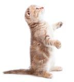 Gattino sopra bianco Fotografie Stock Libere da Diritti