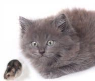 gattino sorpreso del gatto con il criceto del mouse Fotografia Stock Libera da Diritti