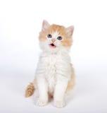 Gattino sorridente Fotografia Stock Libera da Diritti