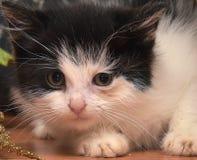 Gattino spaventato Fotografia Stock