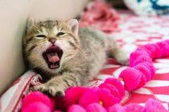 Gattino a strisce sonnolento di sbadiglio sulla coperta, gattino sveglio della tigre da 3 settimane un piccolo con gli occhi azzu immagini stock