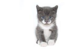 Gattino su bianco Fotografie Stock