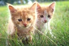 Gattino su erba verde Immagini Stock Libere da Diritti
