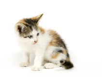 Gattino su priorità bassa bianca che sembra di destra immagine stock