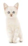 Gattino su un fondo bianco Immagini Stock