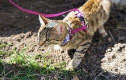 Gattino su un guinzaglio all'aperto Immagini Stock Libere da Diritti