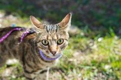 Gattino su un guinzaglio all'aperto Immagine Stock
