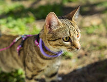 Gattino su un guinzaglio all'aperto Immagini Stock