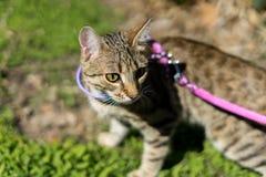 Gattino su un guinzaglio all'aperto Fotografia Stock Libera da Diritti