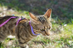 Gattino su un guinzaglio all'aperto Fotografie Stock