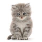 Gattino su una priorità bassa bianca Immagini Stock