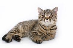 Gattino su una priorità bassa bianca Fotografia Stock Libera da Diritti