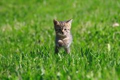Gattino sull'erba Fotografia Stock