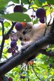 Gattino sulla prugna Fotografia Stock Libera da Diritti