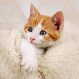 Gattino sveglio Immagini Stock