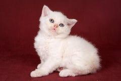 Gattino sveglio bianco Fotografie Stock