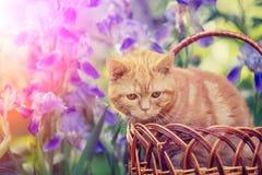 Gattino sveglio che si siede in fiori dell'iride immagine stock libera da diritti