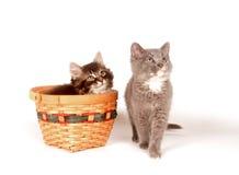 Gattino sveglio che si siede in un cestino Fotografia Stock Libera da Diritti