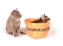 Gattino sveglio che si siede in un cestino Immagini Stock