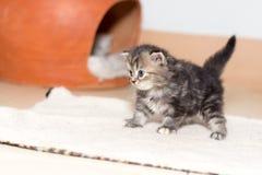 Gattino sveglio del gatto persiano Fotografia Stock Libera da Diritti