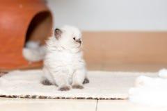 Gattino sveglio del gatto persiano Fotografie Stock Libere da Diritti