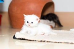 Gattino sveglio del gatto persiano Immagine Stock